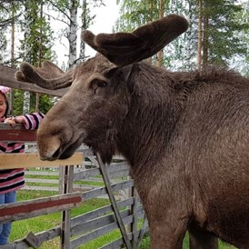 Rollstuhl-Urlaub: Oscar The Moose is the friendliest moose we know. You can stroke him and feed him. He is beautiful. - The Friendly Moose Lapland